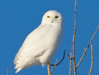 snowy_owl_raymondlee